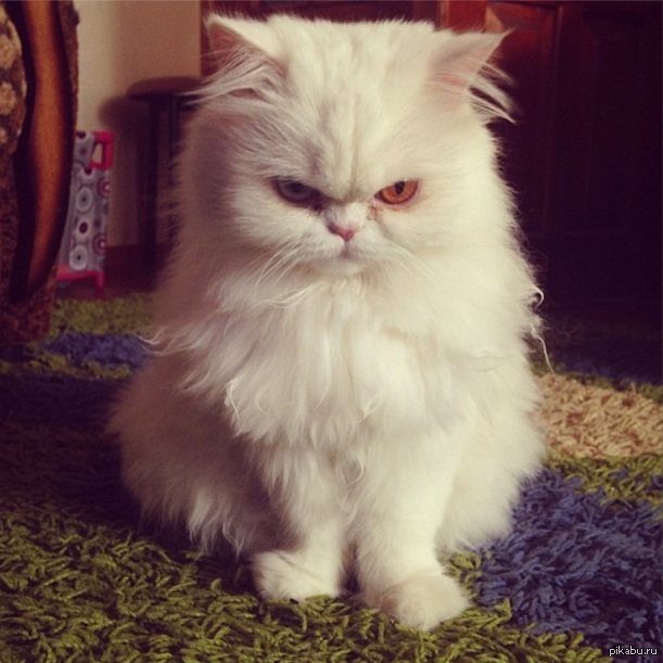 фото кошек злых